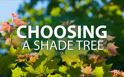 Choosing a Shade Tree