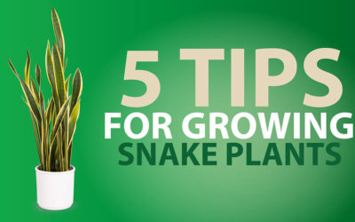 5 Tips For Growing Snake Plants