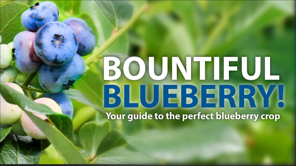 BOUNTIFUL BLUEBERRY!